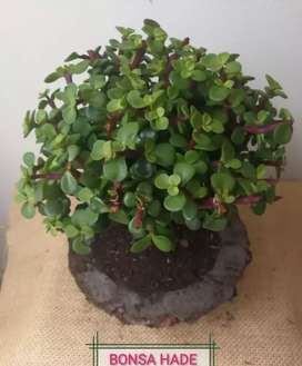 Se venden bonsai
