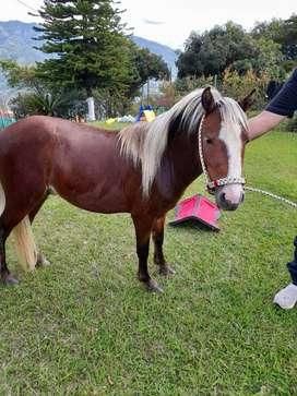 Shetland Pony Con Mini Horse