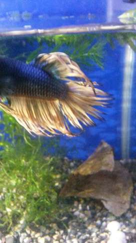 betta macho crow corona