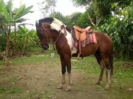 Se vende o se cambia con vacona caballo de paso