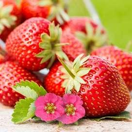 "fresa de cesta colgada ""temptation"" o fresa silvestre planta"