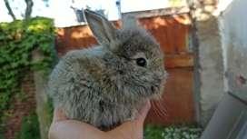 Conejos de raza (Cabeza de León) peludos