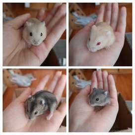 Hamsters rusos en adopción