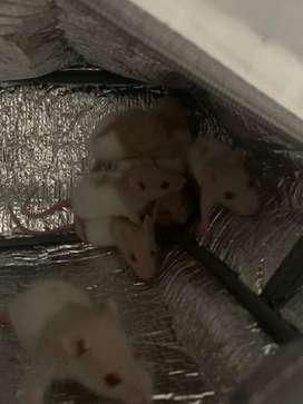 Venta de ratas