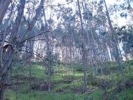 Venta de plantas de Eucalipto