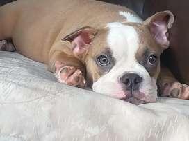 Exotic bully hembra de 05 meses