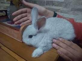 Conejos angora
