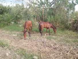 Vendo una llegua y un caballo rozo