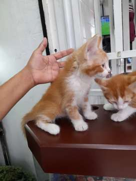Gatos   machos  de  dosmeces