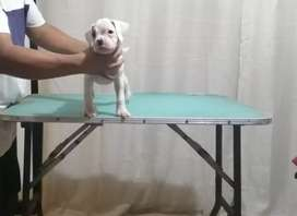 Cachorras boxer incomparables