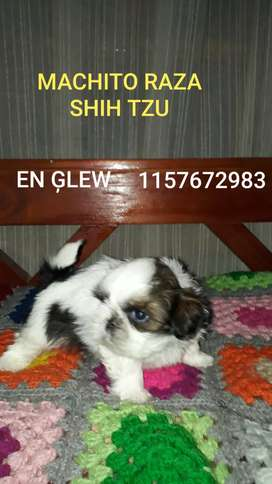 SHIH TZU MACHITO