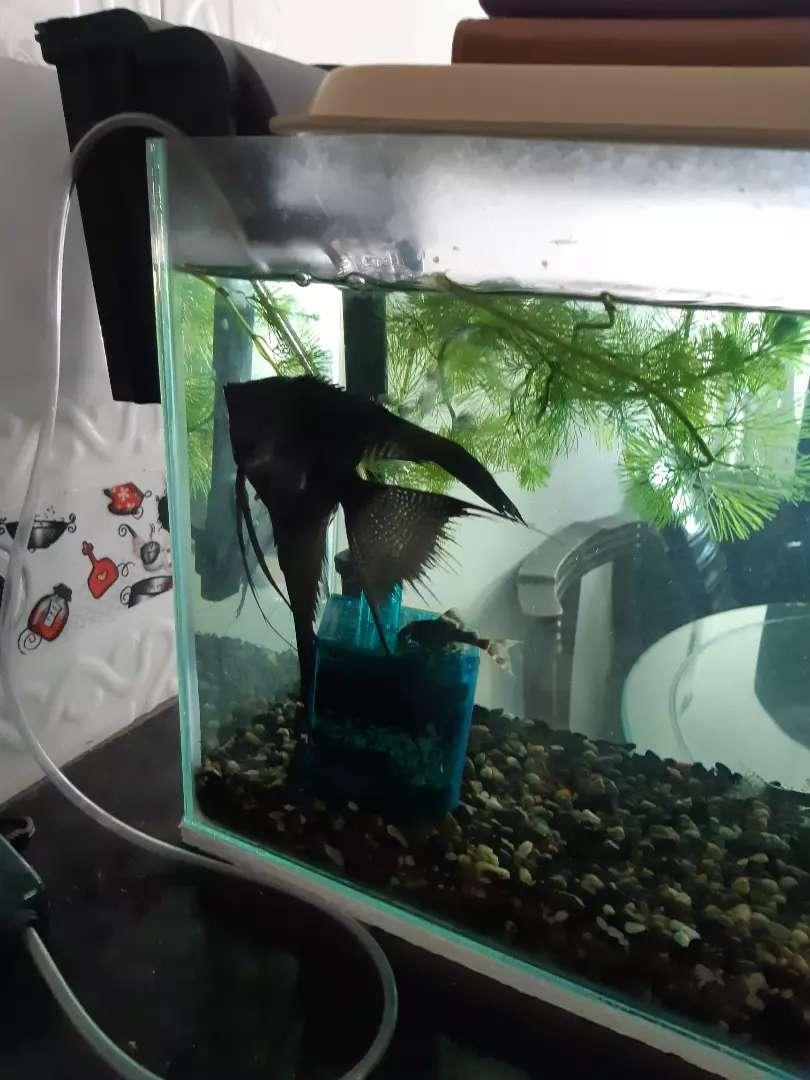 Venta de pez escalar 0