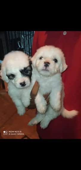 French poodle hembra y macho disponible