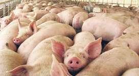 Vendo cerdos de Granja