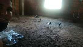 Gallos gallinitas y pollitos miniatura