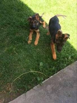 Hermosos cachorros Pastor Alemán