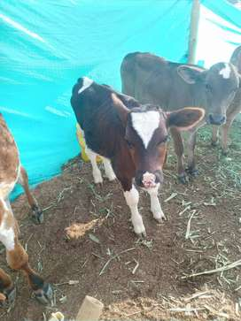 Venta de terneros y terneras tipo leche