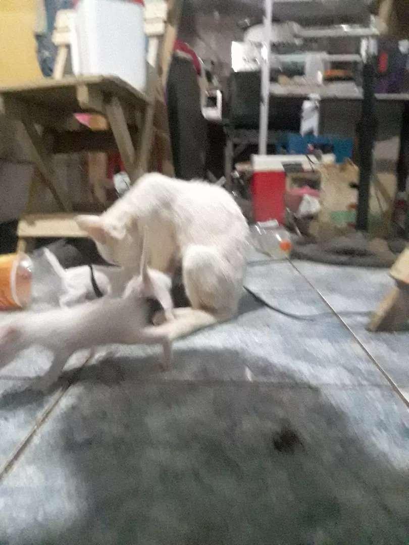 En adopción responsable 2 gatitos blancos y un negro 0