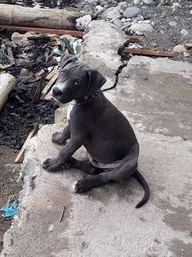 Se me perdio mi perrito de 3 meses . Pitbull