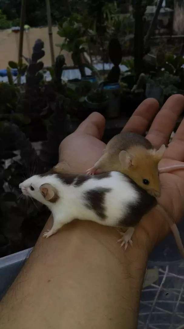 Venta de roedores para Mascotas o alimento de reptiles