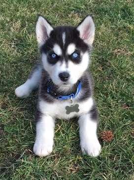 Tierna cachorra.loba siberiana.manto gris.ojos azules