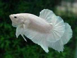 Pareja Dumbo white