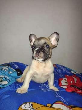 Hermoso Bulldog frances