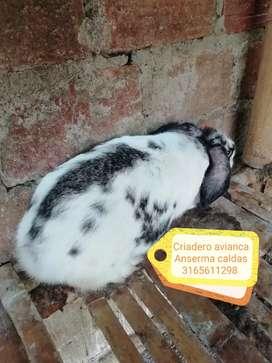 Vente de conejos gigantes
