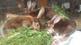 Conejos rex castores satinados