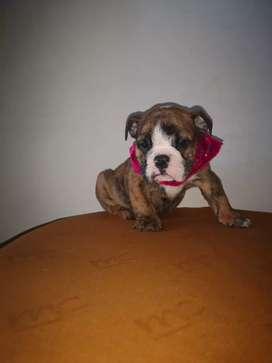 bulldog Inglés hembra