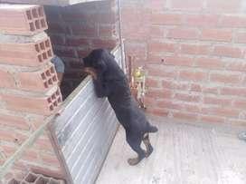 Venta de cachorro rootwieler hembrita