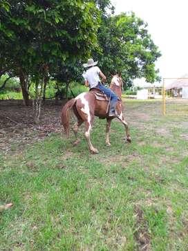 Se vende montas de caballo paint horse cruzado con cuarto de milla
