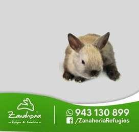 conejos mascota arequipa raza enano holandes