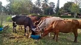 Vendo lote de ganado lechero