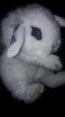 Conejos para mascota de raza enana PUROS