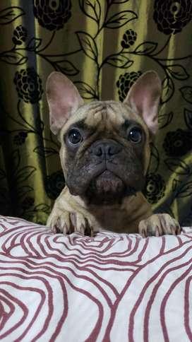 Bulldog Frances Macho para Monta