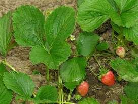 semillas de fresa planta