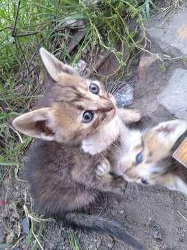 Doy en Adopcion Gatitos