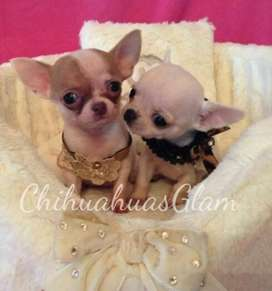 Chihuahua  mini machito blanco , y blanco  bicolor