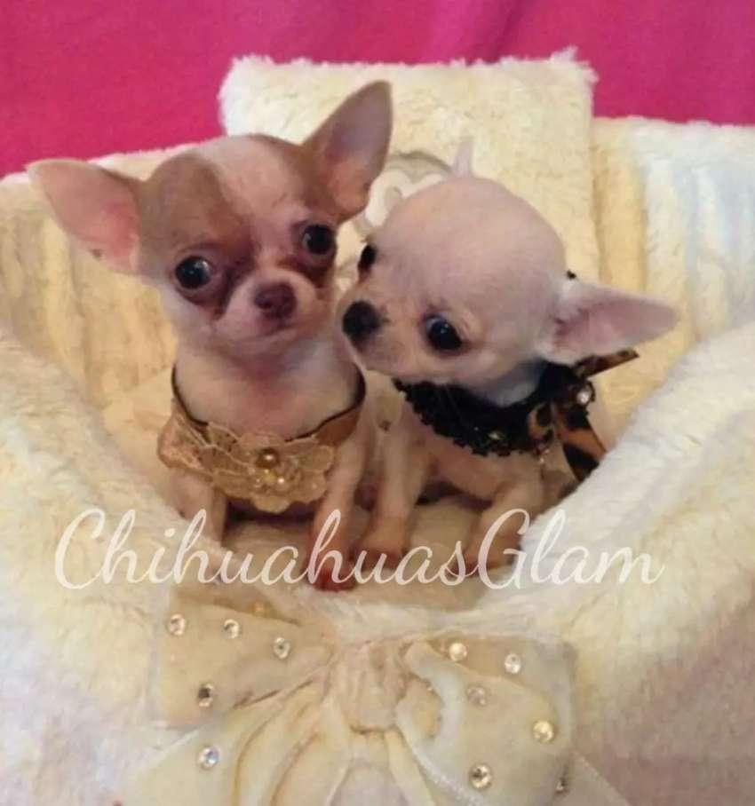 Chihuahua  mini machito blanco , y blanco  bicolor 0