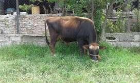Toro Jersey con pedigree