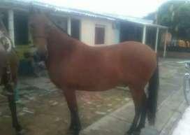 Se venden caballos yeguas de trabajo y de cabalgatas