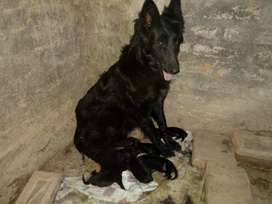 Ultimos cachorros pastor belga