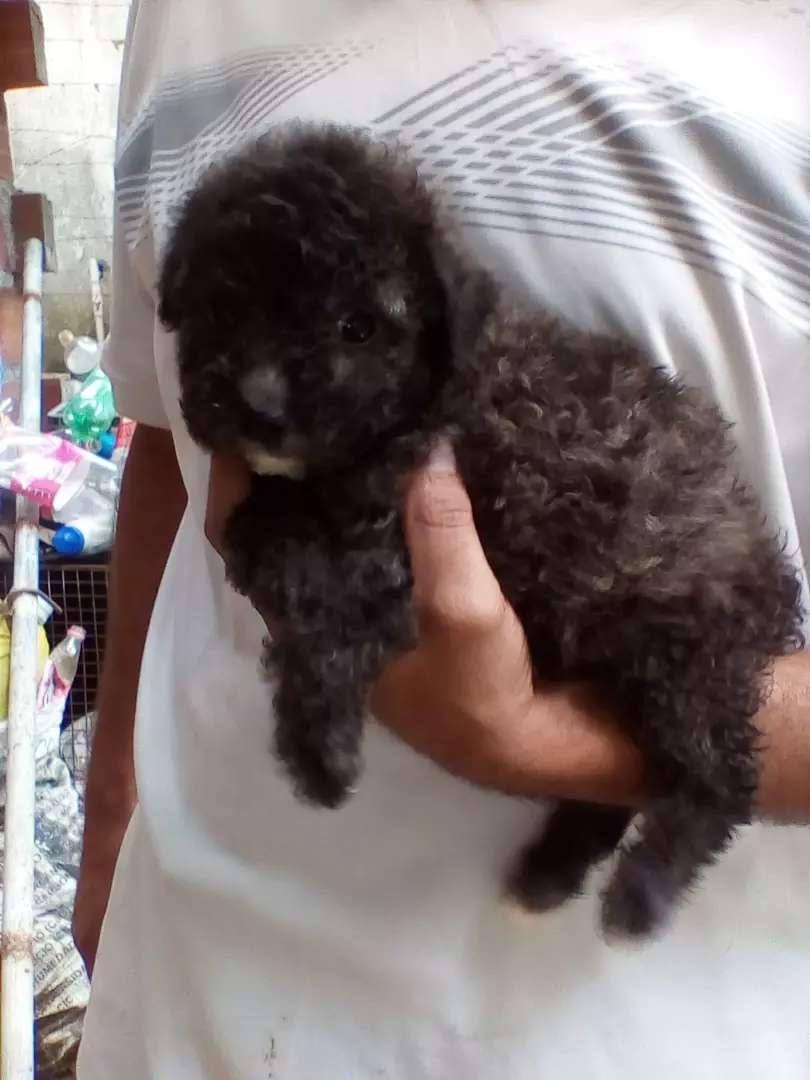 Sr vende french poodle mini toy gris precio 0