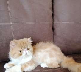 Gato persa. Extremo Para. Monta