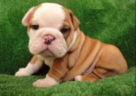 bulldog ingles lindos bebes 60 dias