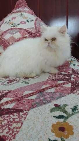 Vendo gatica persa