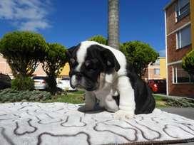Bulldog black tri y choco tri