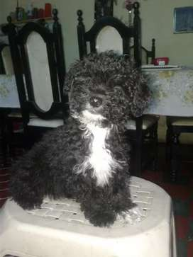 Cachorra French Poodle