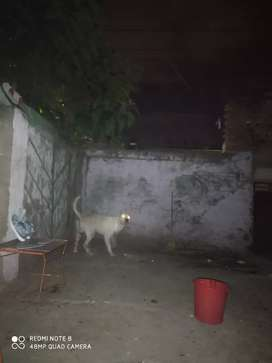 Dogo argentino para monta .con experiencia. 4 años excelente linaje
